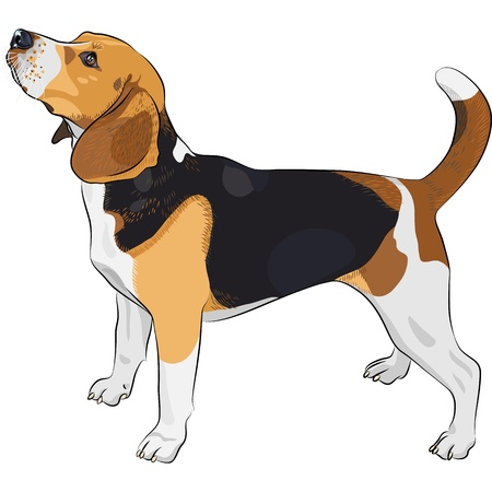 color sketch of the dog Beagle breed  Vector