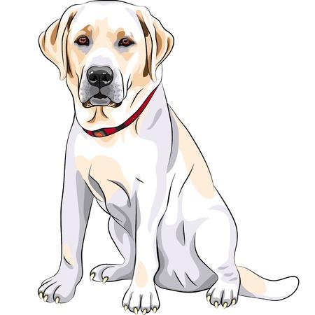 深刻な黄色い犬種ラブラドールレトリーバーのクローズ アップの肖像画に座っています。  イラスト・ベクター素材