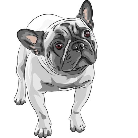 buldog: Primer plano retrato del perro dom�stico raza Bulldog Franc�s Fawn Vectores