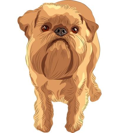 close-up portret van het speelgoed hond Brussel Griffon ras Vector Illustratie