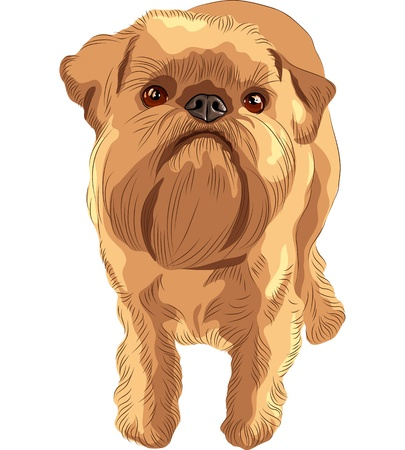 griffon: closeup portrait of the toy dog Brussels Griffon breed Illustration