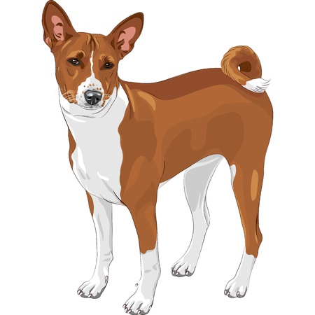 color sketch of the hunting dog Basenji  breed  Vector
