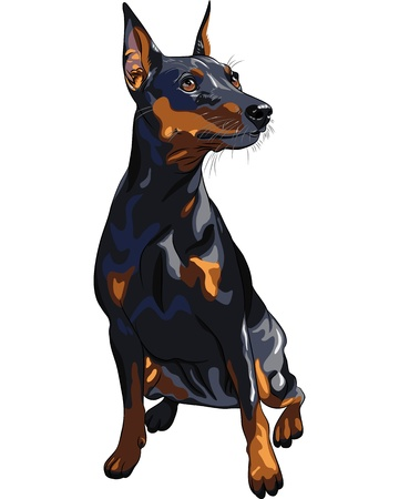 miniature dog: portrait of serious dog Miniature Pinscher (King of the Toys) breed sitting