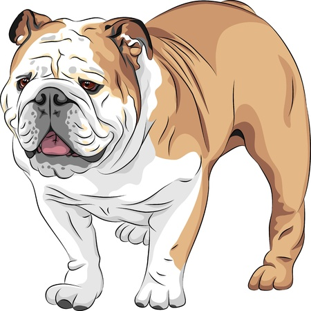 wrinkled face: COLOR sketch of the dog English Bulldog breed  Illustration