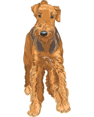 terriers: color sketch of the dog Airedale Terrier breed