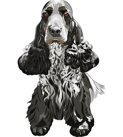 drooping: close-up portrait of a gun dog breed English Cocker Spaniel sitting Illustration