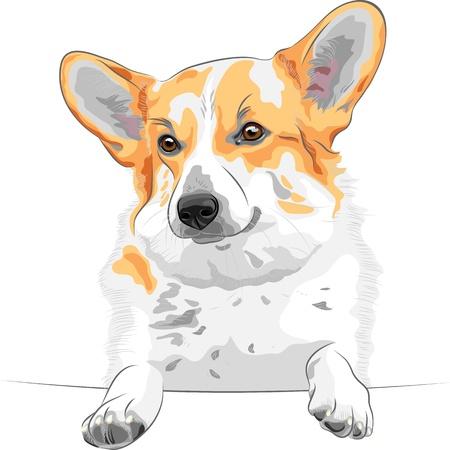 corgi: color sketch of the dog Pembroke Welsh corgi breed smiling