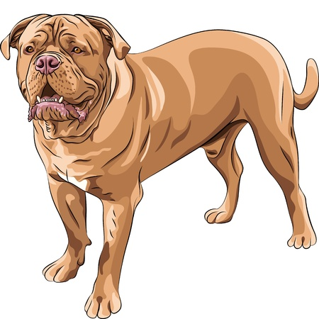 dogue de bordeaux: closeup serious red dog French Mastiff  stands