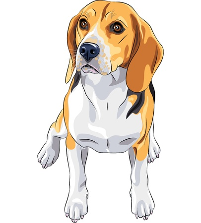 beagle puppy: color sketch of the dog Beagle breed sitting