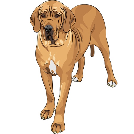 hound: sketch of the fawn dog Great Dane breed