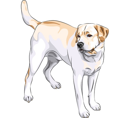 labrador puppy: portrait of a close-up of serious yellow gun dog breed Labrador Retriever  Illustration