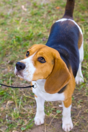 dog Beagle breed on the green grass in the summer, shallow depth of field Stock Photo - 15793767