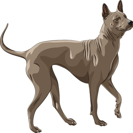 surprised dog: color sketch running Thai Ridgeback Dog breed of red color