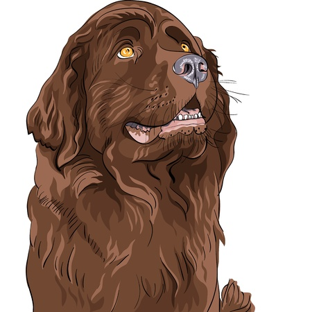 Newfoundland Dog Color Sketch Of The Hound Breed Sitting