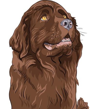 terranova: disegno a colori della razza segugio cane di Terranova seduta Vettoriali