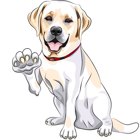 labrador puppy: yellow cheerful dog breed Labrador Retriever smiles and gives a paw