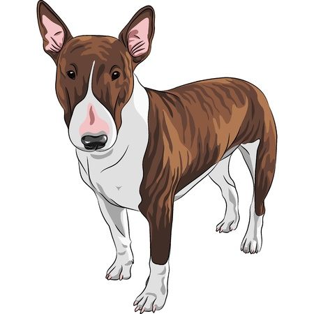 triangular eyes: color sketch of Excellent Bull Terrier Dog in black and tan isolated on the white background
