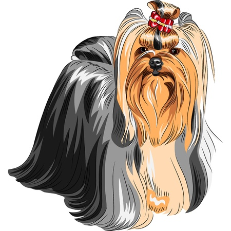 longhaired: color sketch Yorkshire terrier red and black with elegant exhibition haircut