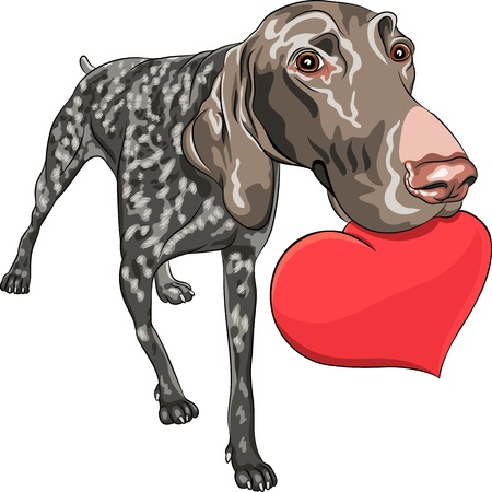 curious smiling dog Kurzhaar (German Shorthair Pointer) breed holding a red heart Vector