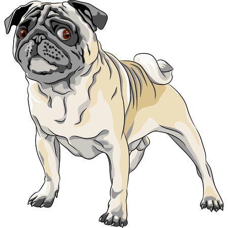 color sketch  angry dog fawn pug breed  Vector