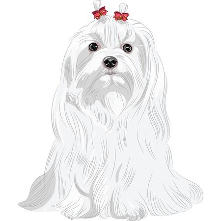色座って赤の弓との深刻な白い犬マルタの品種のスケッチします。