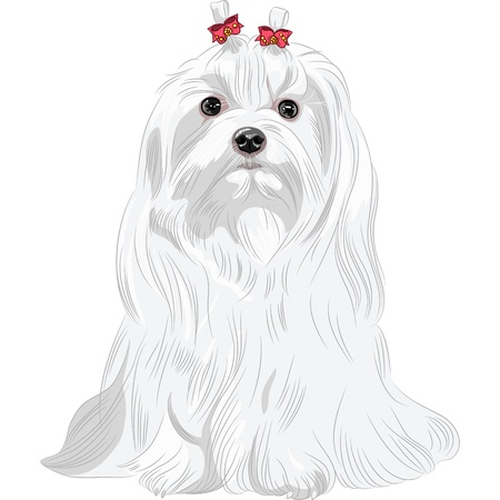 longhaired: color sketch white serious dog Maltese breed with red bows sitting
