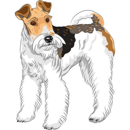 brown and black dog face: color sketch of the dog Wire Fox Terrier breed standing Illustration