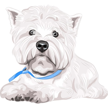miniature dog: color sketch closeup portrait serious dog West Highland White Terrier breed with blue collar Illustration