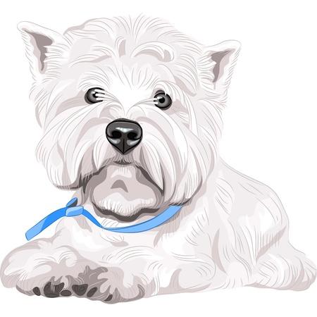 miniature breed: de color blanco bosquejo retrato serio perro raza West Highland White Terrier con collar azul