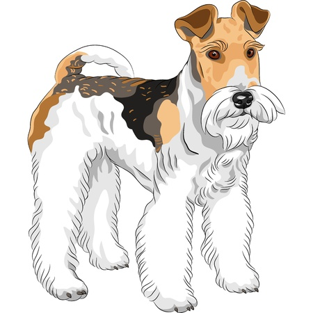 terriers: color sketch of the dog Wire Fox Terrier breed standing Illustration
