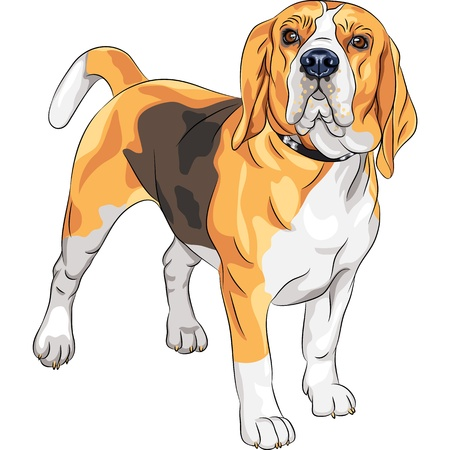 color sketch of the serious dog Beagle breed standing Vector