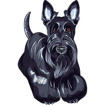 scottie: color sketch of the dog Scottish Terrier breed standing Illustration