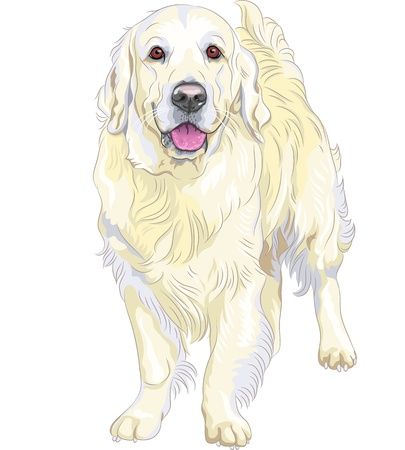 guide dog: vector portrait of a smiling yellow gun dog breed Labrador Retriever