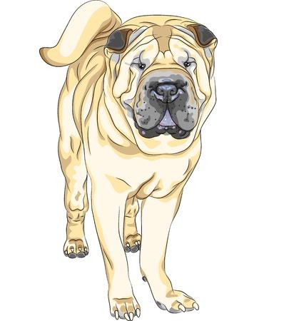 fighting dog: vettore ritratto di gravi giallo pistola cane di razza cinese Shar Pei