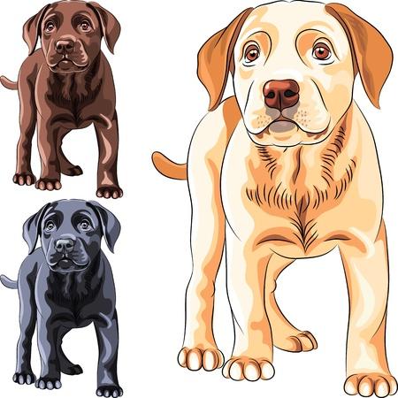 perro labrador: establecer lindo perro cachorro de raza Labrador Retriever de diferentes colores: chocolate, amarillo y negro