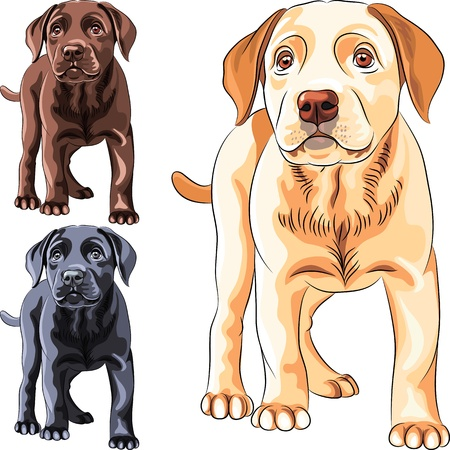 guide dog: set cute puppy dog breed Labrador Retriever of different colors: chocolate, yellow and black
