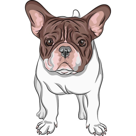 Vector closeup portrait of the domestic dog French Bulldog breed on the white background Vector