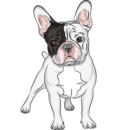 Vector closeup Porträt des Haushundes Französisch Bulldog Rasse auf dem weißen Hintergrund