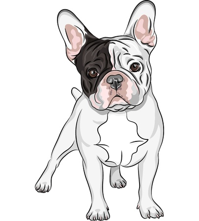 buldog: Vector closeup retrato de la raza Bulldog franc�s perro dom�stico en el fondo blanco