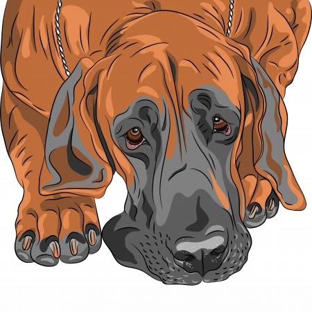 sad dog: Vector close-up portrait of the fawn sad dog Great Dane breed  Illustration