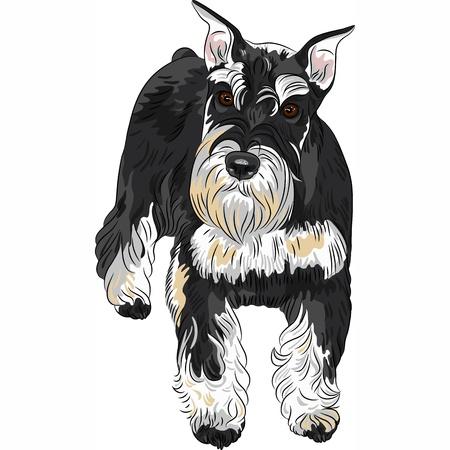 miniature breed: vector seria lindo perro de raza Schnauzer miniatura, color negro y plata