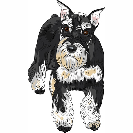 vector serious cute dog breed Miniature Schnauzer, color black and silver  Vector
