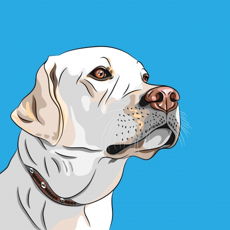 guide dog: vector closeup portrait white dog breed Labrador Retriever seriously looking into the distance
