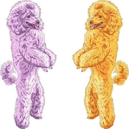 poodle: vector color sketch of two dogs Poodle breed standing on his hind legs, isolated on the white background