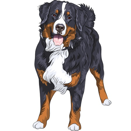 black haired: big cute dog breed Bernese mountain dog standing and smiling, isolated on the white background
