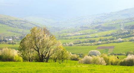 carpathian mountains: Spring evening landscape  green flowering slopes of the Carpathian Mountains