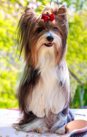 Biewer Yorkshire terrier red and black stands on his hind legs Stock Photo - 19809638