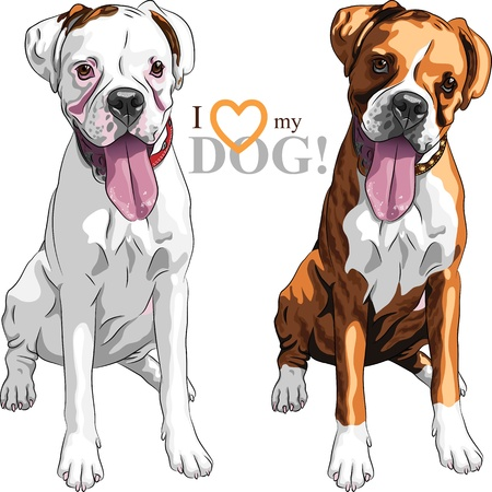 closeup portrait of the pair of domestic dogs Boxer breed white and brindle Vector