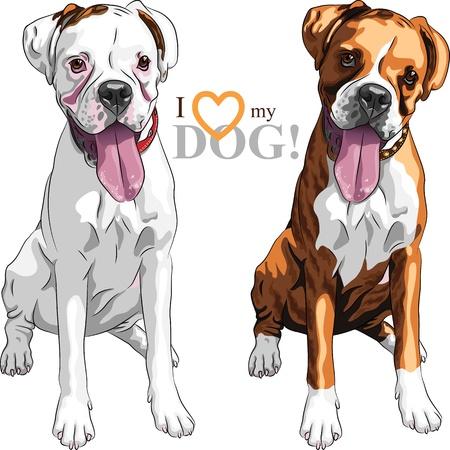 perro boxer: retrato de primer plano de la pareja de perros de raza Boxer doméstico blanco y atigrado Vectores