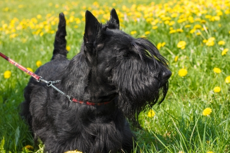 Black dog Scottish Terrier breed standing on a yellow-green blossoms lawn. Shallow depth of field photo